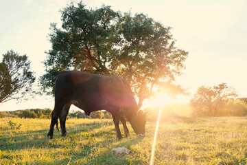 Wall Mural - Young black cow grazing in summer landscape on Texas farm at sunset.