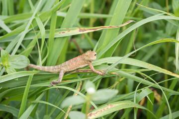 ceylon chameleon or tree lizard on grass
