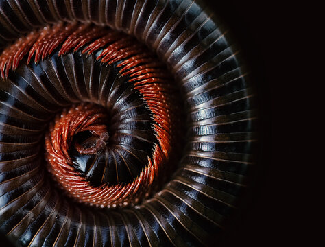 Asian giant millipede(Siamese Pointy Tail Millipede), Round-backed, curled up on blacck background.