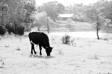 Wall Mural - Crossbred beef bull calf grazing in rural Texas landscape in black and white.