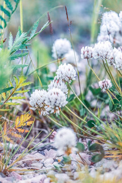 blooming white clover in a meadow