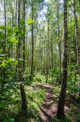 Footpath through a bright forest