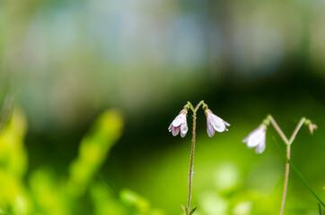 Twinflowers in green surroundings