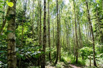 Through a bright green birch tree forest