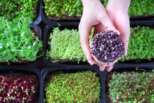 Female hand with basil microgreen against the other microgreens