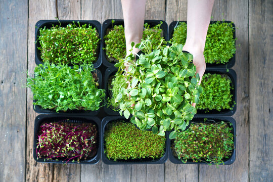 Female hand with sunflower microgreen against the other microgreens in a trays