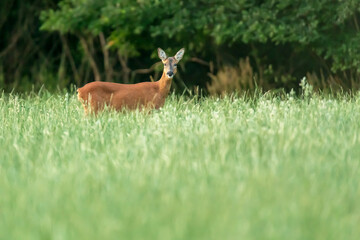 A roe deer in a forest meadow with tall grass.