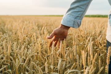 farmer standing in wheat field , closeup of hand touching wheat