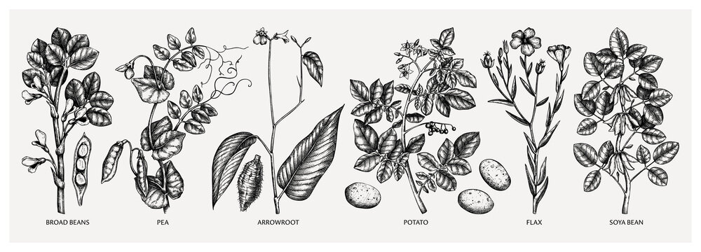Hand-drawn agricultural plants  - potato, soy, beans, pea, arrowroot, flax sketches. Vector vegetables drawing in engraved style. Healthy farm product illustration.