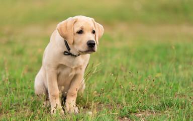 Labrador retriever dog sitting in the park