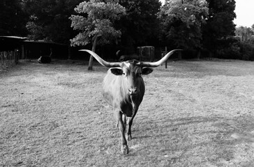 Wall Mural - Texas Longhorn cow in black and white looking at camera.
