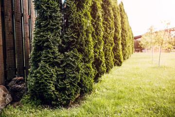 Photo sur Aluminium Noir Dense hedge along the boardwalk - high evergreen arborvitae as an ornamental plant on a private site