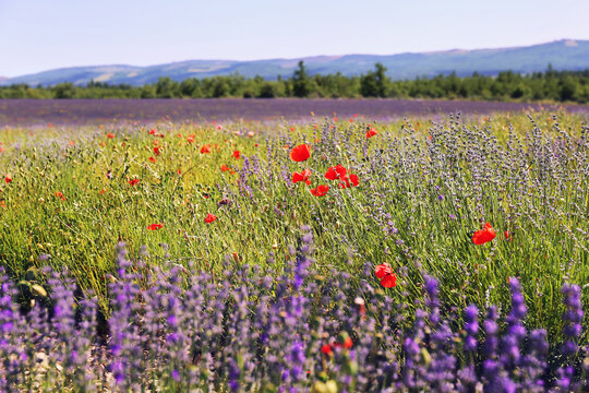 France, Provence: lavender field and red poppies