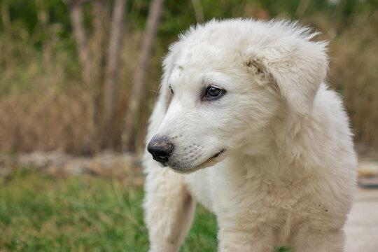 """puppy  """"Hungarian kuvasz"""""""