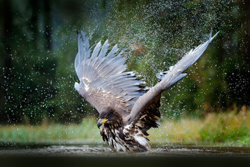 Eagle in water lake, drops splash - big wings.  White-tailed Eagle, Haliaeetus albicilla, flying above the water, bird of prey with forest in background, animal in the nature habitat, wildlife, Norway Fotomurales