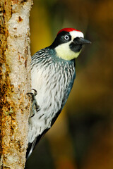 Wall Mural - Woodpecker from Costa Rica mountain forest. Beautiful bird sitting on the green mossy branch in habitat, Costa Rica. Acorn Woodpecker, Melanerpes formicivorus. Birdwatching in America.