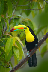 Wall Mural - Wildlife from Yucatán, Mexico, tropical bird. Toucan sitting on the branch in the forest, green vegetation. Nature travel holiday in central America. Keel-billed Toucan, Ramphastos sulfuratus.