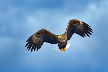 White-tailed eagle, Haliaeetus albicilla, big bird of prey on the dark blue sky, with white tail, Japan. Action wildlife scene from sky. Big bird of prey on the sky.