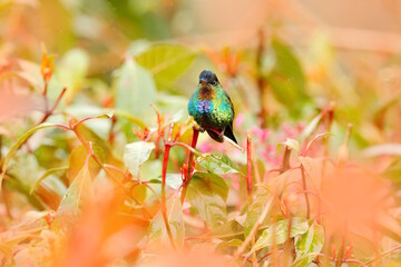 Glossy shiny tinny bird. Fiery-throated Hummingbird, Panterpe insignis, colourful bird sitting on branch. Mountain bright animal from Costa Rica. Red bright bird in the tropic forest.