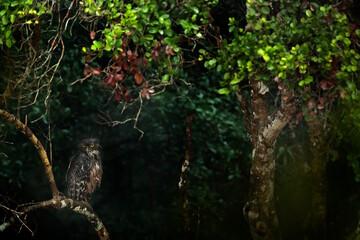 Sri Lanka, Wilpattu national park, Brown fish ow, Bubo zeylonensis or Ketupa zeylonensis, hidden in the forest. Owl sitting on the tree, rainny day in nature. Wildlife Sri Lanka.