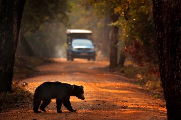 Safari in India, bear with the car. Travelling in Asia. Sloth bear, Melursus ursinus, Ranthambore National Park, India. Wildlife from nature. Animal on the road. Forest with animal.