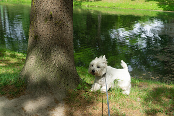 Small white dog on a leash while walking