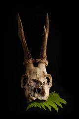 Czaszka kozła sarny wraz z porożem i liściem paproci, na czarnym tle, martwa natura, aranżacja.