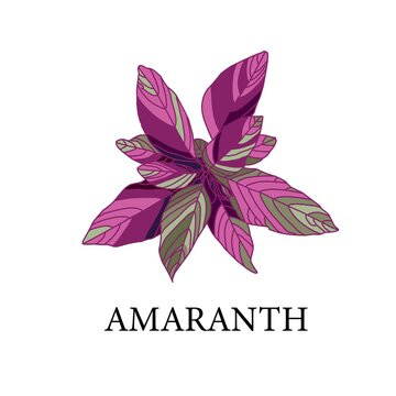 amaranth on a white background. greenhouse plant isolated. vector illustration