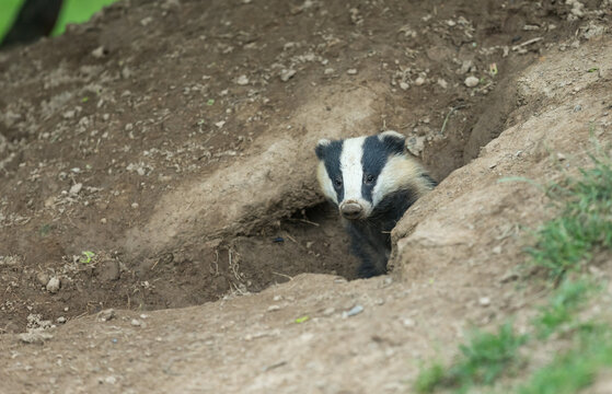 Badger (Scientific name: Meles meles) Close up of a wild, European badger with muddy nose, in natural habitat, emerging from a badger sett.  Facing forward.  Horizontal.  Space for copy.