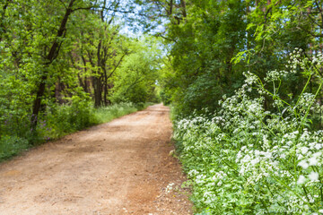 Way Through the Woods / Wild chervil plant at straight unpaved road through forest (copy space)