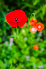 Blooming red poppies in a flower garden.