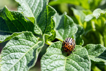 Colorado beetle on potato leaf. Bug feed on leaves and can completely defoliate plants