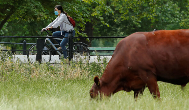 Woman wearing a protective mask rides on a bicycle past a cow in Midsummer Common park, in Cambridge
