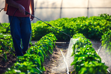 Farmer spraying vegetable green plants in the garden with herbicides, pesticides or insecticides.