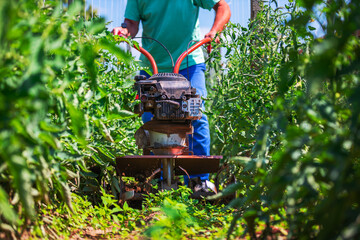 Farmer working with agriculture weeding machine around vegetable plants. Horticulture.