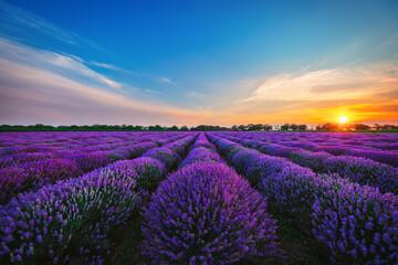 Lavender flower in the field