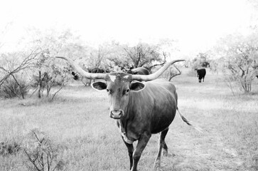 Wall Mural - Texas Longhorn cow in black and white, walking through rural pasture close up.
