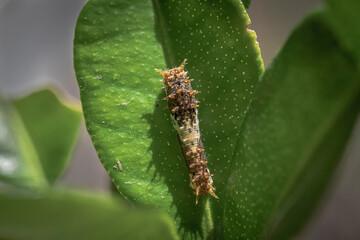 Baby small caterpillar on leaf macro shot