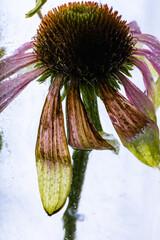 Echinaceae in Eis 3
