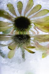 Echinaceae in Eis 2