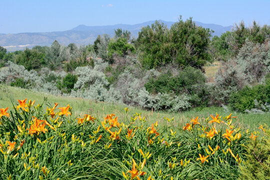 Colorado Front Range landscape with bed of ornage daylily flowers looking towards Rocky Mountains from Majestic View Park in Arvada