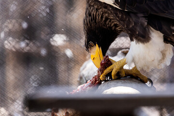 Portrait of a beautiful adult eagle, a bird of prey tearing apart a piece of meat