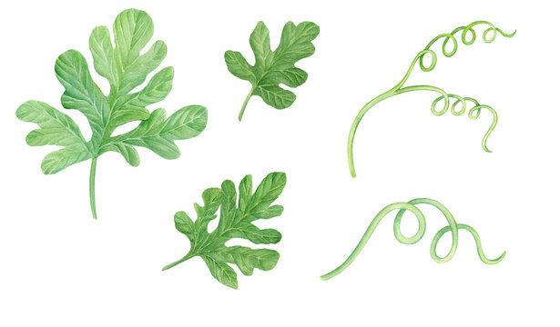 Watercolor watermelon green leaves isolated on white background.  Hand drawn botanical illustration clipart.