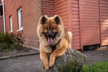 Eurasier puppy dog lying balancing on rock