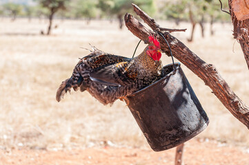 Cock sitting on a bucket hanging from a tree