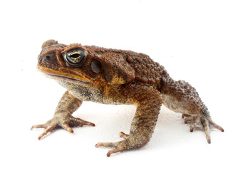 Cane Toad (Rhinella marina) looking at the camera with a white background.