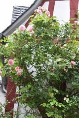 Fototapeta Rosn vor fAchwerkhaus, Monreal in der Eifel obraz