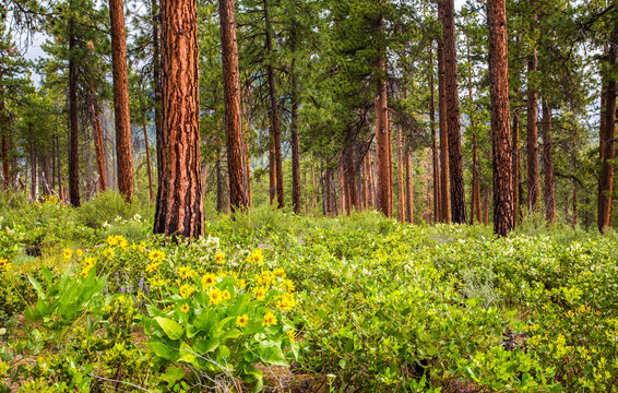Wildflowers - lipine and balsom root - in front of a ponderosa pine forest in central Oregon near Sisters.