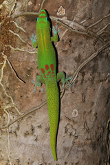 A beautiful gold dust day gecko (Phelsuma laticauda) resting on a tree trunk on the island of Kauai. These lizards are originally from Madagascar, but were introduced to Hawaii.