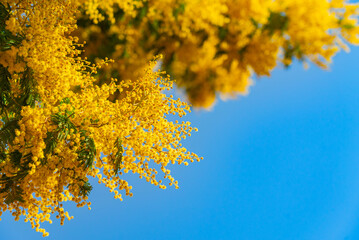 Mimosa spring flowers against blue sky background. Blooming mimosa tree over blue sky, bright sun. Spring holiday blossom on Tenerife, Spain
